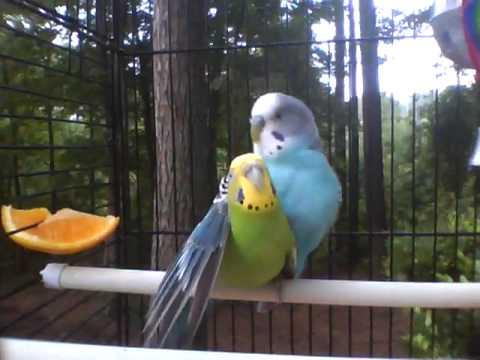 How do you sex parakeet