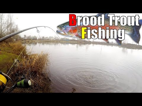 Brood Trout Fishing - Flying Broods!!