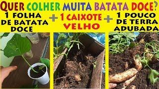 Como Plantar e Colher Batata Doce no Caixote através de 1 único ramo !