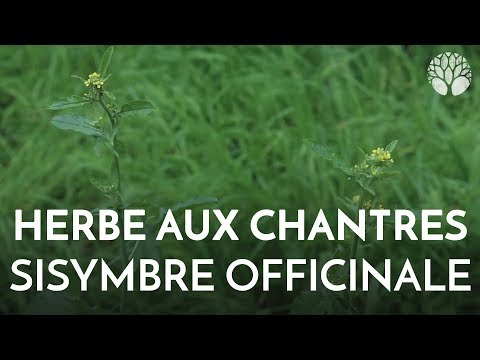 Herbe aux chantres, sisymbre officinale. Plante sauvage come