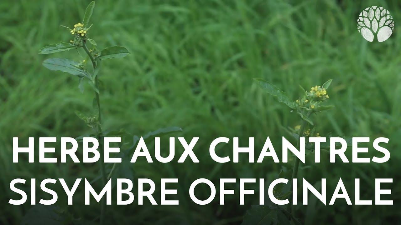 Herbe aux chantres, sisymbre officinale. Plante sauvage comestible et médicinale