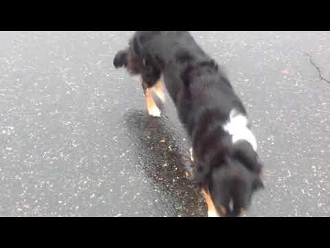 Boreland English Shepherds - Maisie in the rain