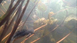 les tritons alpestres de mon bassin