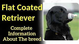 Flat Coated Retriever. Pros and Cons, Price, How to choose, Facts, Care, History
