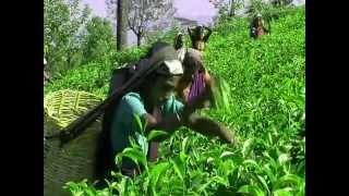 Сбор урожая на плантации чая(, 2014-10-15T12:44:54.000Z)