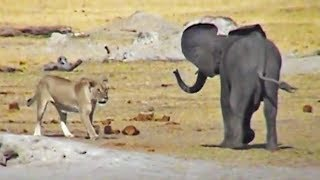 Baby Elephant Tries Fighting Lions