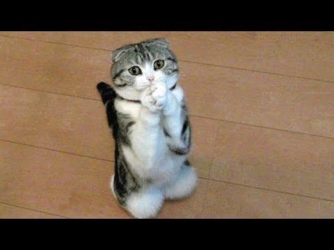 katt som tigger mat