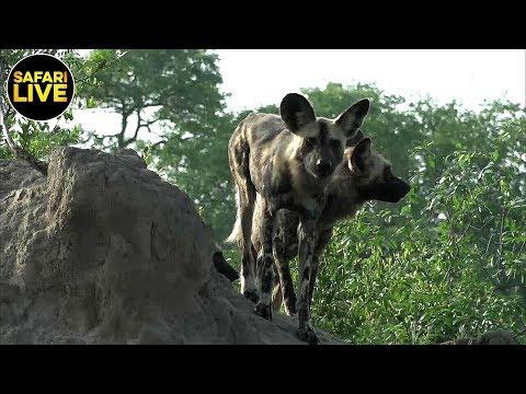 safariLIVE - Sunrise Safari - February 27, 2019