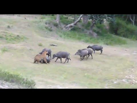 Tiger Attacks Buffalo - Intense [HD]