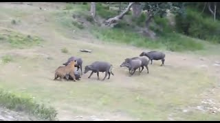 Repeat youtube video Tiger Attacks Buffalo - Intense [HD]