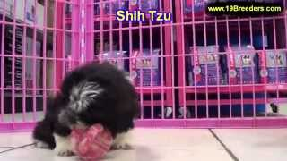 Shih Tzu, Puppies, For, Sale, In, Portland, Oregon, Or, Mcminnville, Oregon City, Grants Pass, Keize