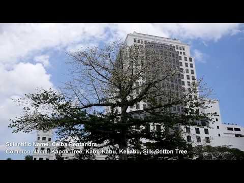 Heritage Tree of Kuching: The Silk-Cotton Tree at Merdeka
