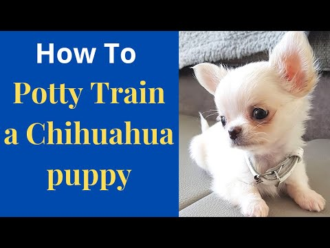 How To Easily Potty Train Chihuahua Puppy? Effective Potty Training Tips