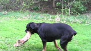 Marlowe - a 3 leg Rottweiler (rear right leg amputation) tripawd video #6