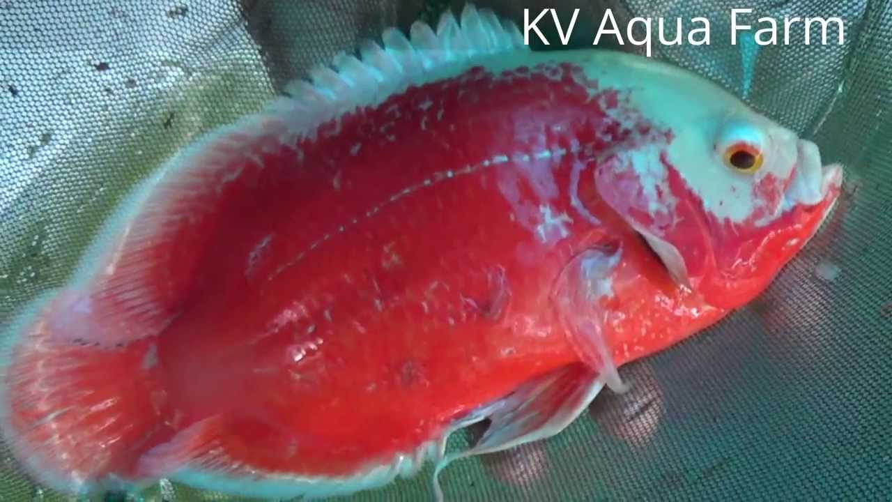 Chilli Red Oscar Pair For Sale Youtube