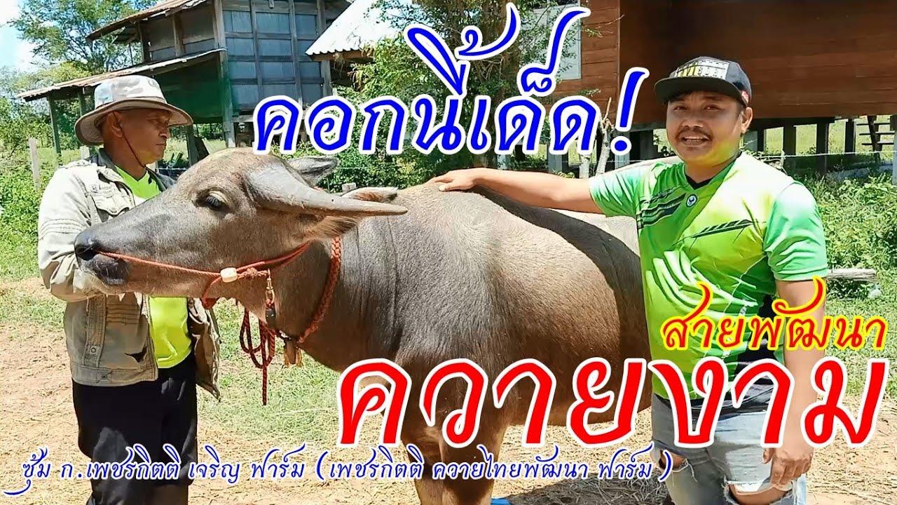 เปิดคอกควายงาม ควายไทยสายพัฒนา149+ เด็ดๆทุกตัวบอกเลย(เพชรกิตติ ควายไทยพัฒนา ฟาร์ม)