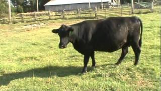 9 28 11  cows 008
