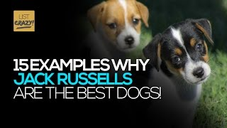 Jack Russells | 15 Examples How Jack Russell Terriers are the best dogs. Funny and cute!