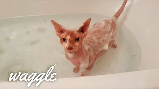 Hairless Cats | Cขte Cat Compilation