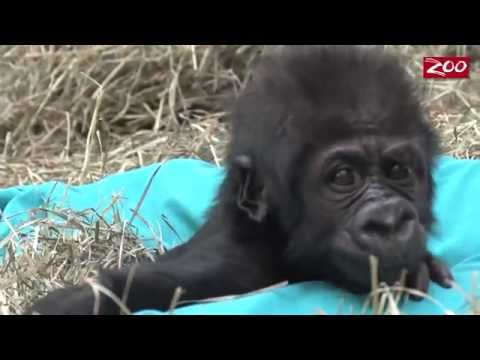 Baby Gorilla's Busy Day