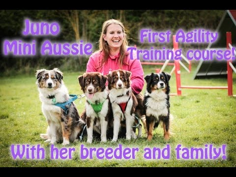 Mini Aussie Juno - First Tayola Agility Seminar with her family!
