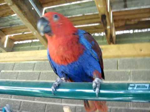 Female Eclectus Parrot outside