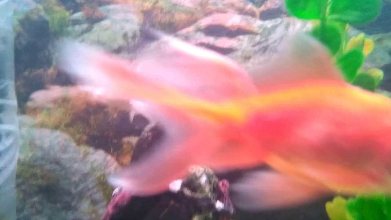 Freshwater fish kauai - Freshwater Fish Milky Carp Goldfish Koi Carp