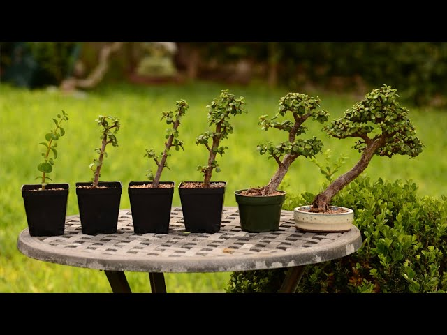 From Cutting to Bonsai Tree - 6 Year Evolution of a Portulacaria afra - Little Jade Bonsai