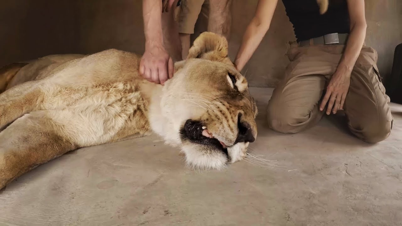amy-s-big-op-part-2-the-lion-whisperer