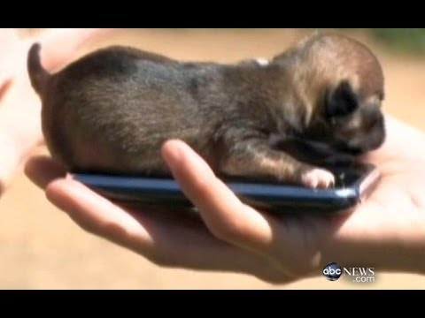 worlds smallest puppy cute animals episode 7 youtube