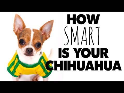 So where does the Chihuahua rank in dog intelligence | Sweetie Pie Pets