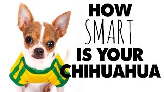 Dog training your Chihuahua? Just how smart are they? | Sweetie Pie Pets