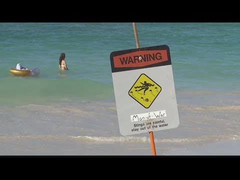 Hundreds Treated For Of Portuguese Man O' War Stings At Windward Beaches
