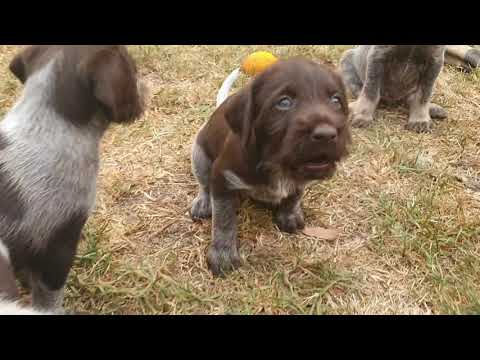 CUTE PUPPIES (German Wirehaired Pointer)