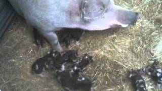 Food Wishes Recipes - Baby Pigs At Willis Farm