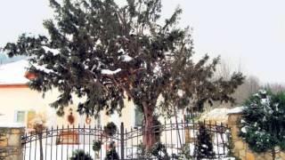 5 najstarszych drzew w Polsce