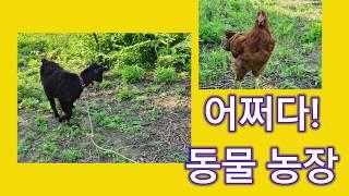 [어쩌다동물농장] 생각만 해봤던 염소와 닭! [전미애가…