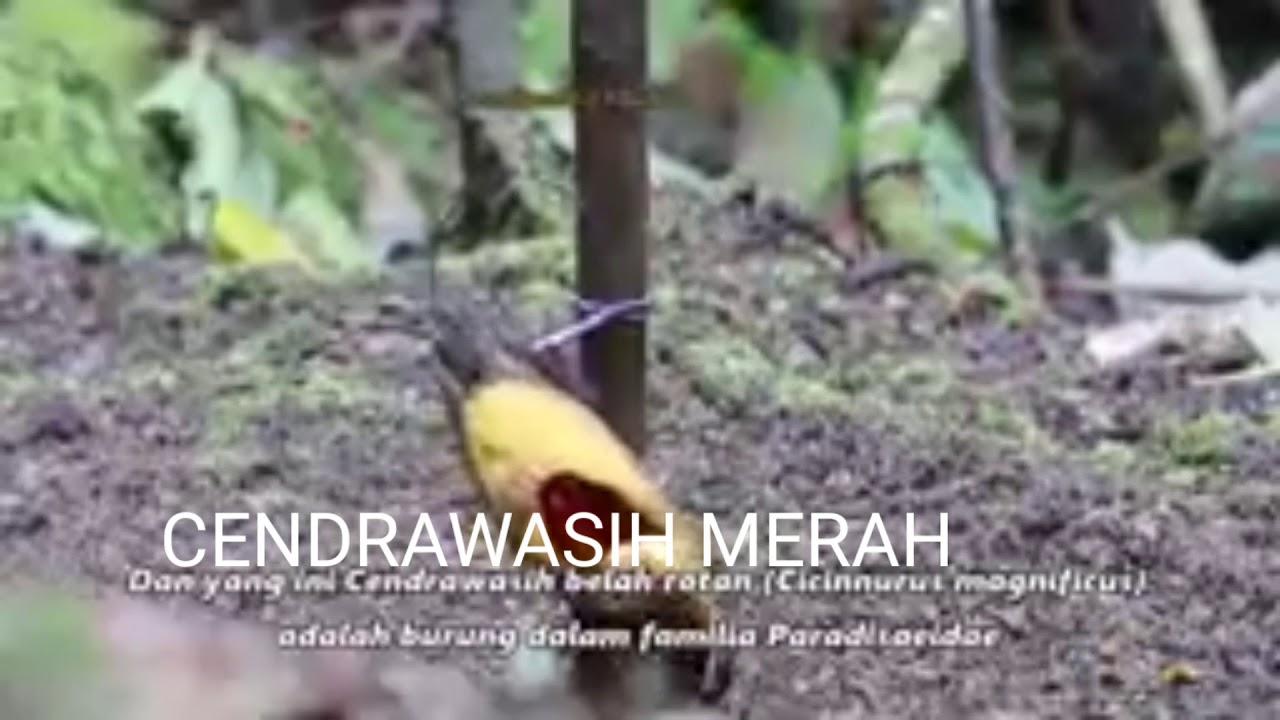 BURUNG CENDRAWASIH - YouTube