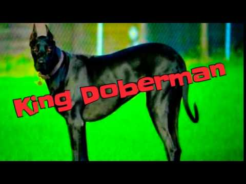 Doberman hybrid:King Doberman dog