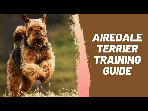 Airedale Terrier Training Guide