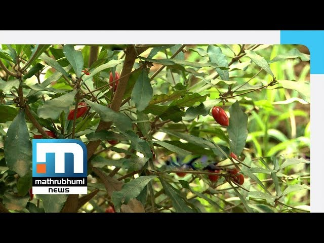 Miracle Fruit In Rasheed S Farm Mathrubhumi News Youtube