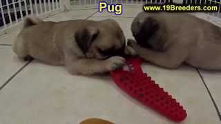 Pug, Puppies, For, Sale, In, Badger, County, Alaska, Ak, Kink Fairview, College
