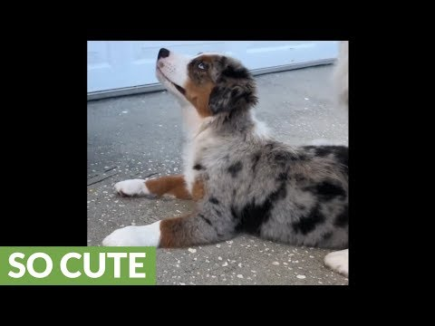 Mini Aussie gets frustrated at puppy struggling to learn new trick