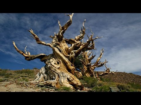 World's Top 10  Oldest Trees in 2016