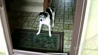 Приколы про животных.  Пес боится невидимую дверь.  Прикольное видео