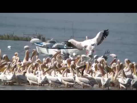 Birding In Turkey White Pelicans Sep 2014