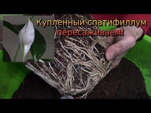 Спатифиллум.  Пересадка купленного растения.