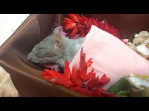 Вопрос: Как часто болеют крысы?