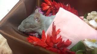 Маси больше нет.  Моя крыса умерла 😭😭😭