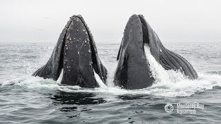 Humpback Whales Lunge Feeding In Monterey Bay!